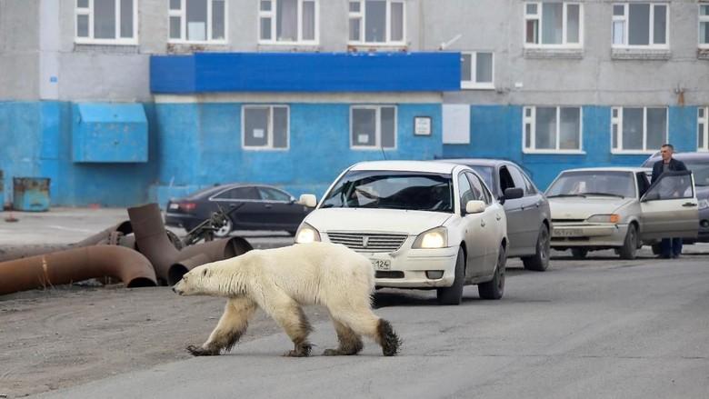 Desa Di Rusia Dimasuki Puluhan Beruang Kutub